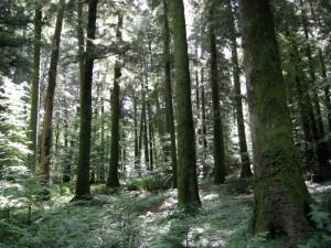 Foresta1