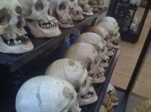 crani esposti nel museo lombroso di torino