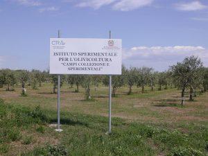 Il Campo collezione di germoplasma olivicolo di Mirto Crosia è il campo più grande del mondo.